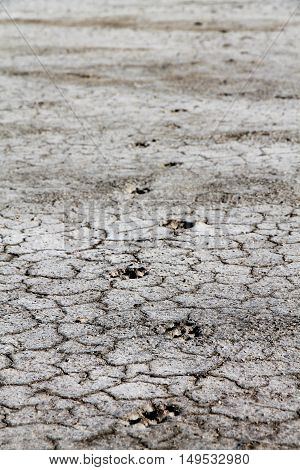 Dog footprints on gray dry ground textured with cracks.