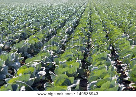 Freshly growing cabbage field. Big cabbage in the garden