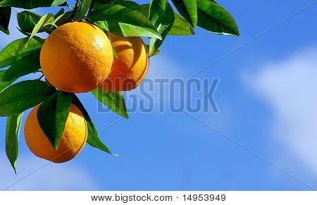 oranges hanging tree