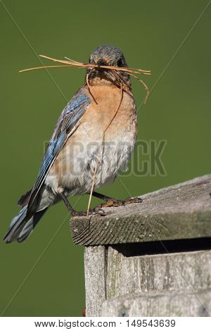 Female Eastern Bluebird (Sialia sialis) with nesting material