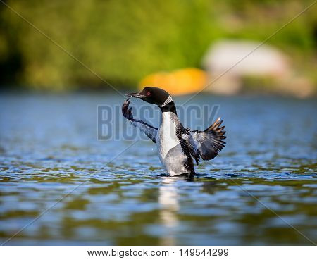 Common loon swimming on a lake Creux in Northern Quebec. There is an early morning mist surrounding the bird.