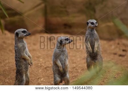 three cute meerkats standing up posing animals