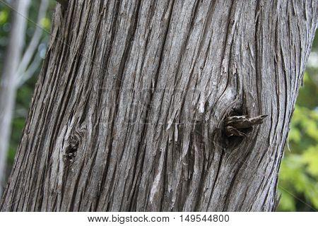 Bark of a Northern White-Cedar tree in Northern Michigan.