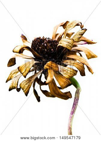 Dead flower on white background