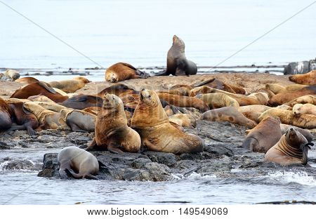 Group of Steller Sea Lions Resting on rock, Race Rock Marine Reserve, Victoria, B.C., Canada