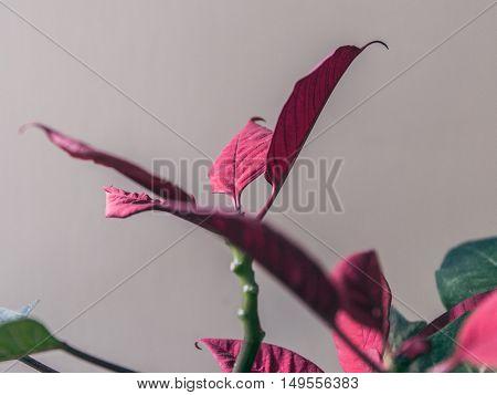 poinsettia plant red leaves indoor macro closeup