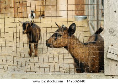 Animals in captivity. Goats are behind bars.