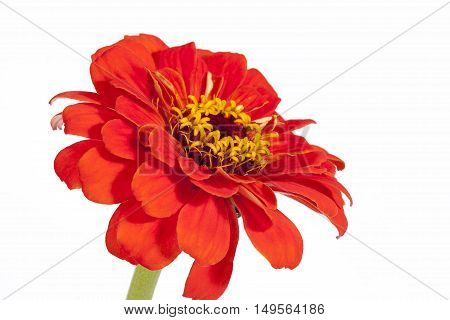 Single flower of red zinnia isolated on white background close up .