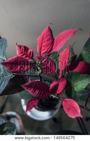 red pinsettia plant leaves indoor macro closeup