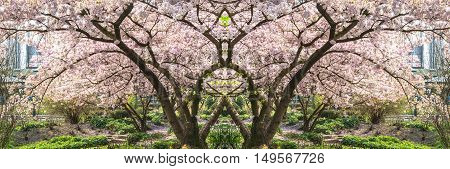 Panorama pink tree blossoms in spring against blue sky.