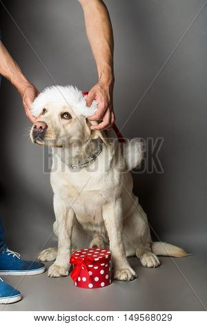 Labrador dog pet white color sitting in studio in red santa claus hat with human hands on grey background