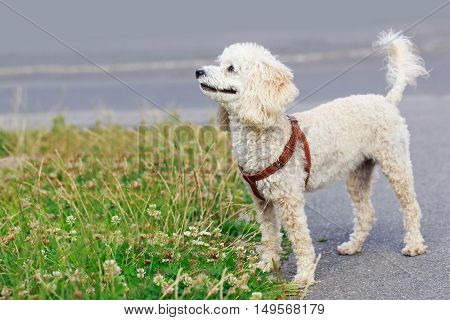 the dog breed Poodle is walking outdoors