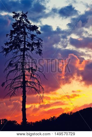 Old pine tree over bright sunset sky