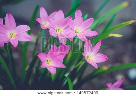 Beautiful rain lily flower. Zephyranthes Lily Fairy Lily Little Witches. (Zephyranthas sp.)