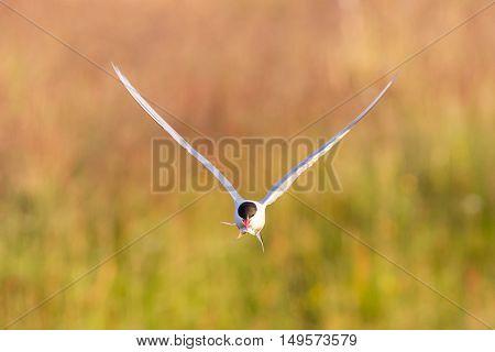 Arctic Tern With A Fish - Warm Evening Sun