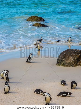 Boulders Penguin Colony in the Table Mountain National Park. African black-white penguins. The concept of  ecotourism. The sandy beach on the Atlantic coast of Africa