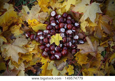 Ripe horse chestnuts on autumn leaves background