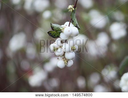 Symphoricarpos albus laevigatus common snowberry with white berries