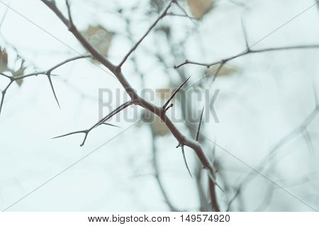 Hawthorn tree branches with autumn leaves and prickles