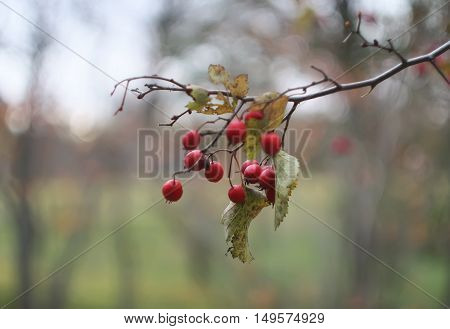 Ripe red hawthorn berries on a tree at autumn.