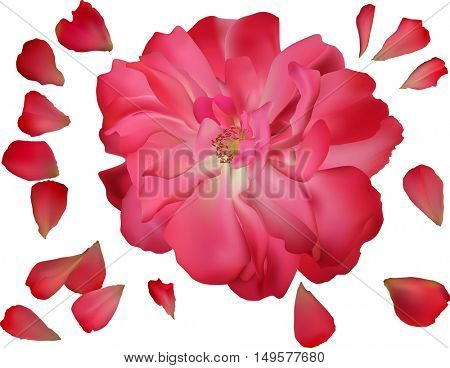 illustration with dark pink brier and group of petals isolated on white background