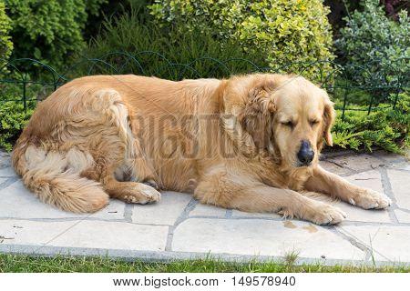 portrait of beautiful golden retriever in garden