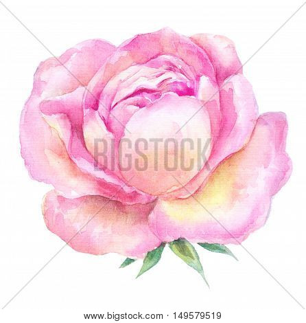 head pink roses watercolor painting. Open flower on a white background. botanical illustration