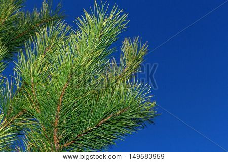 Green pine branches on blue sky background