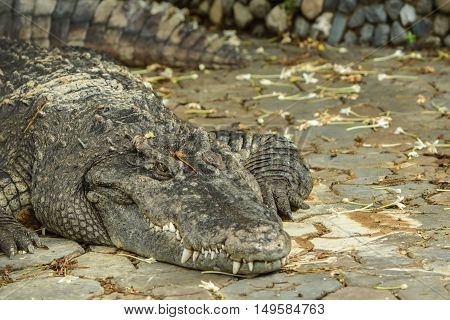 Freshwater crocodile in swamp. freshwater species are native to Thailand in Vietnam Cambodia Laos Thailand Kalimantan Java and Sumatra is quite a big medium sized crocodile.