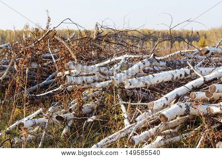 sawn birch branches in his arms on the ground