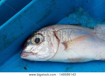 Close up of big eyed fresh fish lying in plastic box with ice