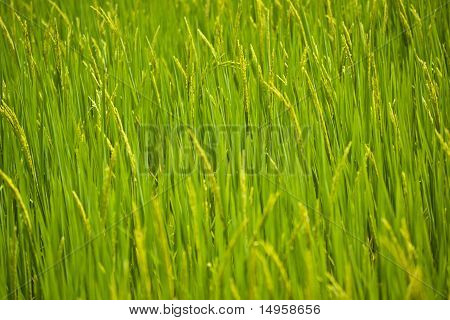 Green rice seedlings.