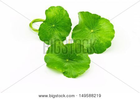 Green Asiatic Pennywort (Centella asiatica ) on white background