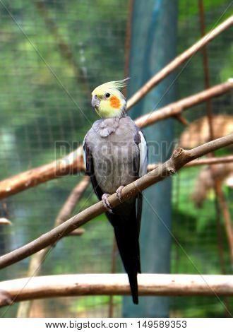 Cockatiels bird standing on tree branch watching