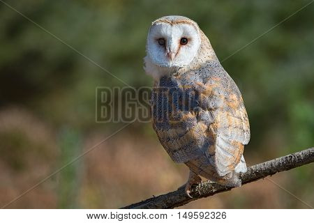 A female barn owl perched on a branch in a clearing looking backwards towards the camera