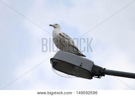 Seagul on street lamp portrait