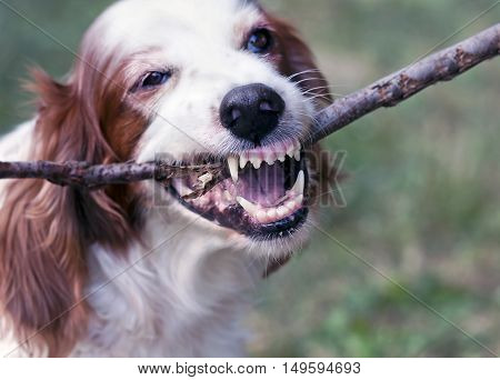 Angry white dog chewing a stick and showing teeth
