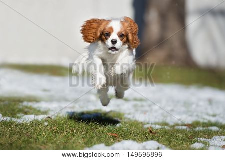 cavalier king charles spaniel dog jumping outdoors in winter