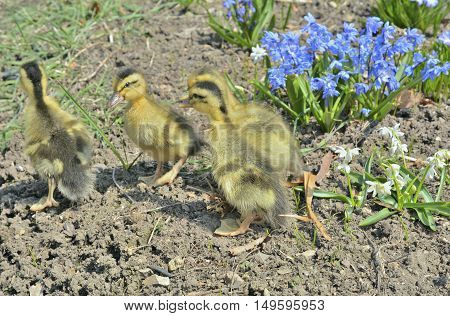 A close up of the very small ducklings.
