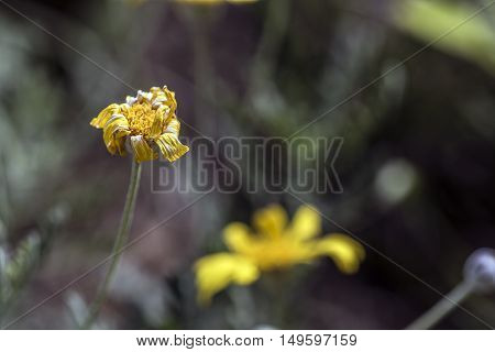 withering yellow daisy flowers outdoor macro closeup