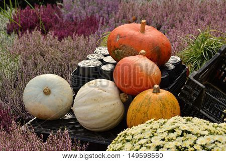 Ripe pumpkins in the field on a background of grass steppe