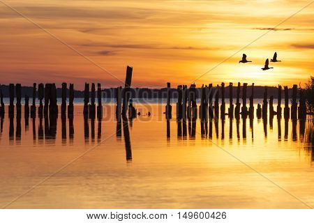 Three geese flying over lagoon with groyne in sunset at Ruegen, Germany