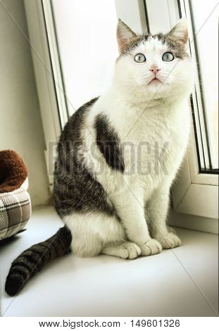 cute siberian cat with blue eyes close up photo on windowsill
