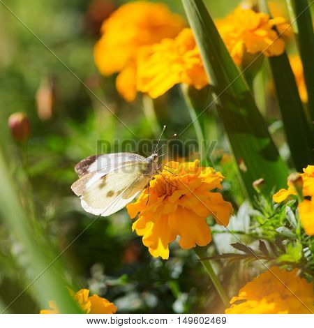 white butterfly sits on a yellow marigold closeup