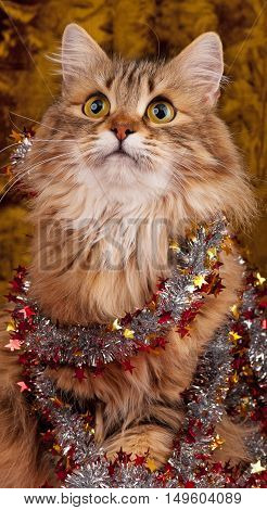 Beautiful siberian cat decorated with Christmas garland over dark background