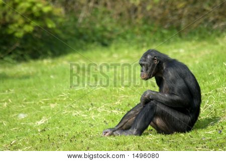 Bonobo Sitting