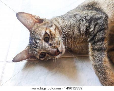 Closeup of Thai Cat in Bangkok ,Thailand.