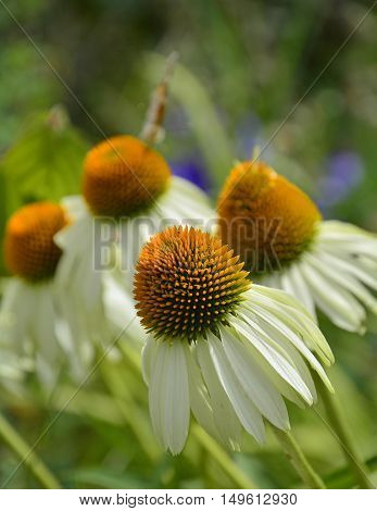White Swan Echinacea flowers also known as Coneflowers - an herbaceous flowering perennial plant from the Asteraceae daisy family. The focus is on the the foreground flower. Photograph taken in north east Italy.