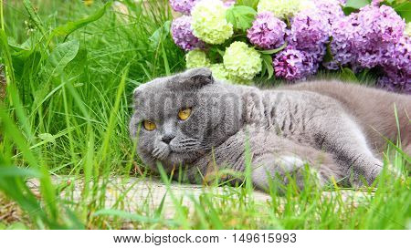 Scottish fold cat lying in the green grass looking up at the background shows a bouquet of lilac and viburnum, with white flowers like snow globe