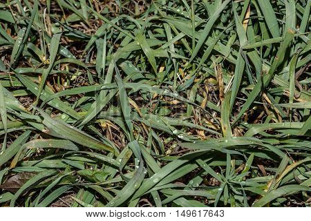green grass with dew drops in the forest